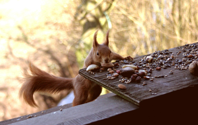 Red Squirrel Trail On The Isle Of Wight