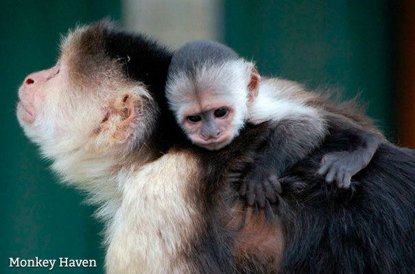 Monkey Haven - Green Star - Isle of Wight