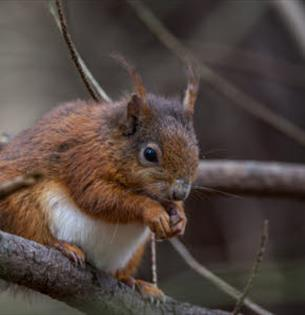 Red Squirrel, forest event at Borthwood Copse, Isle of Wight, Things to Do