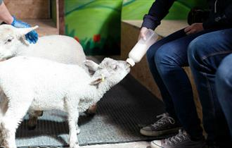 Isle of Wight, Things to Do, Easter Holidays, Childrens/Family Fun, Bottle Feeding Lambs, Tapnell Farm Park, YARMOUTH