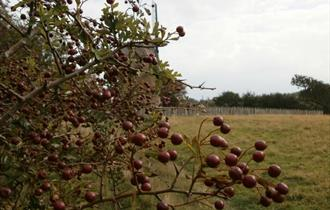 Autumn Fruits, Seeds and Berries ID Trail